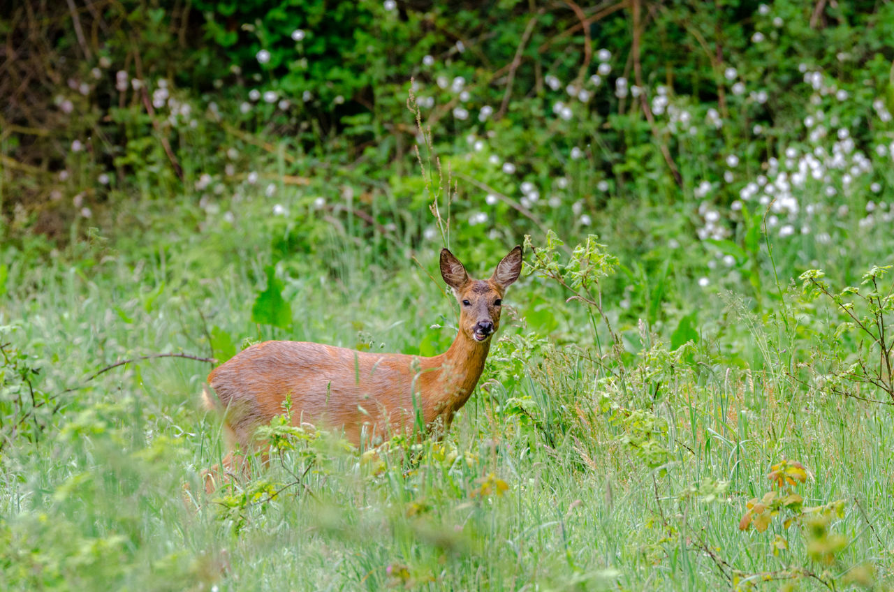 Animal Animal Themes Animal Wildlife Animals In The Wild Animals In The Wild Deer Field Grass Green Into The Wild Mammal Nature Nature Nature Photography Nature_collection Naturelovers No People One Animal Roe Deer Roe Deers Stag Stop Wild Wildfires Wildlife & Nature