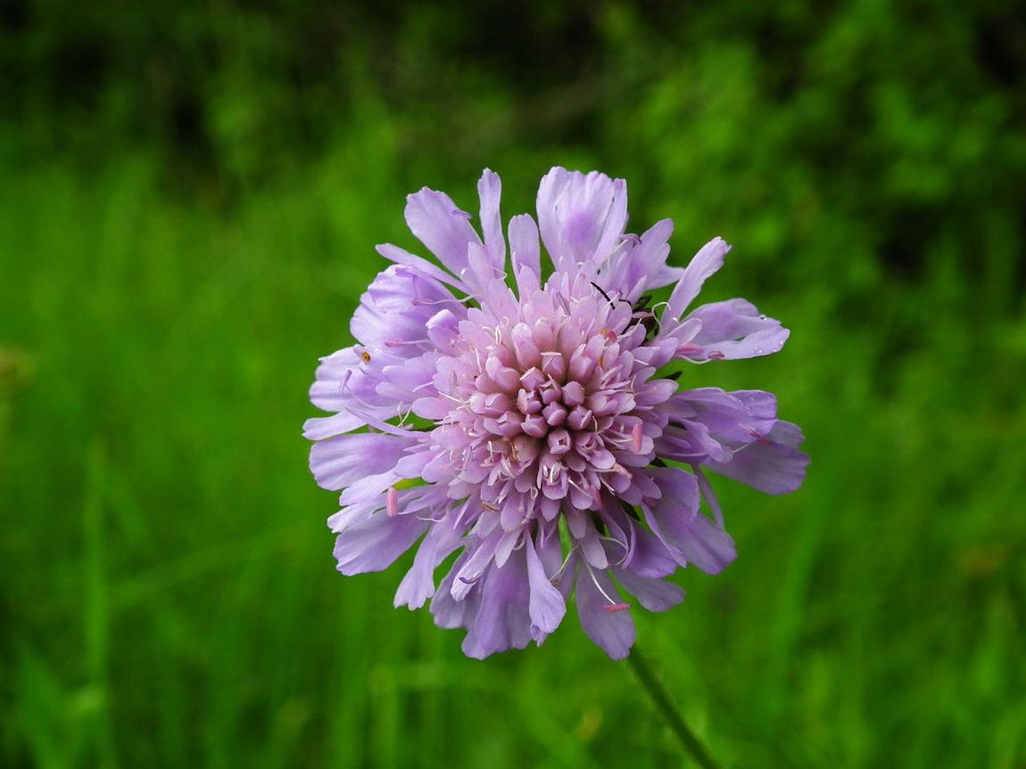 trefoil Blue Flowers Flowers, Nature And Beauty Flowers,Plants & Garden Nature Nature Photography Purplish Blue Trefoil