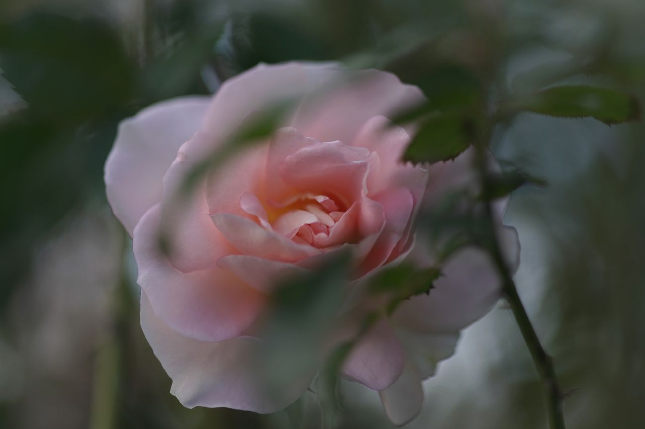 Dreaming Dreamy Roses Pink Rose Flower Pink Flower Transience Moments of being Quiet Moments Yokohama Yokohama English Garden SONY A7ii Micronikkor Micronikkor105mmf2.8 105mm Masako201711