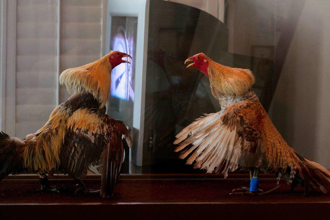 bird, domestic animals, chicken - bird, no people, indoors, livestock, animal themes, rooster, cockerel, day, close-up, mammal