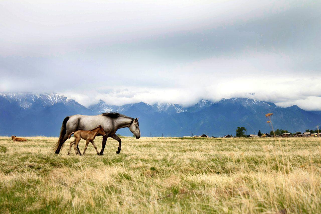 сибирь лошади горы