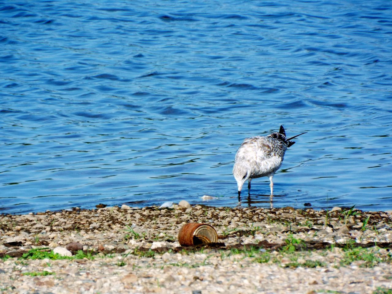 Beauty In Nature Beauty In Nature Bird And Water Bird Photography Bird Watching Blue Water Blue Waters Cerulean Cerulean Blue Connecticut River Cove Gull Nature Nature Photography No People Outdoors Riverside Sea Bird Sea Gull Seagull Serenity Tranquility Waterside Wethersfield Cove Wildlife Wildlife & Nature