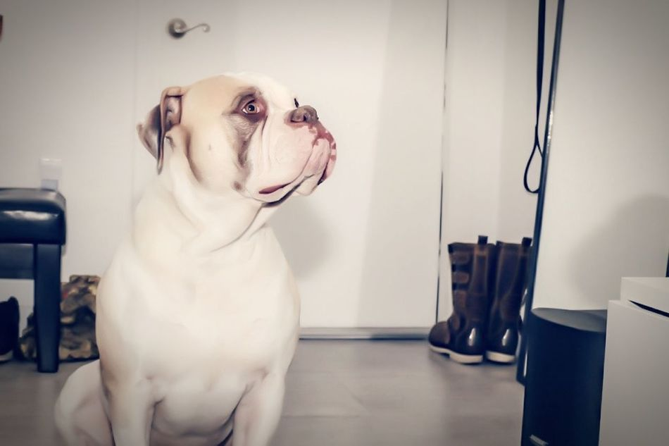 Bulldog Bully AmiricanBullDogJohnson Puppy