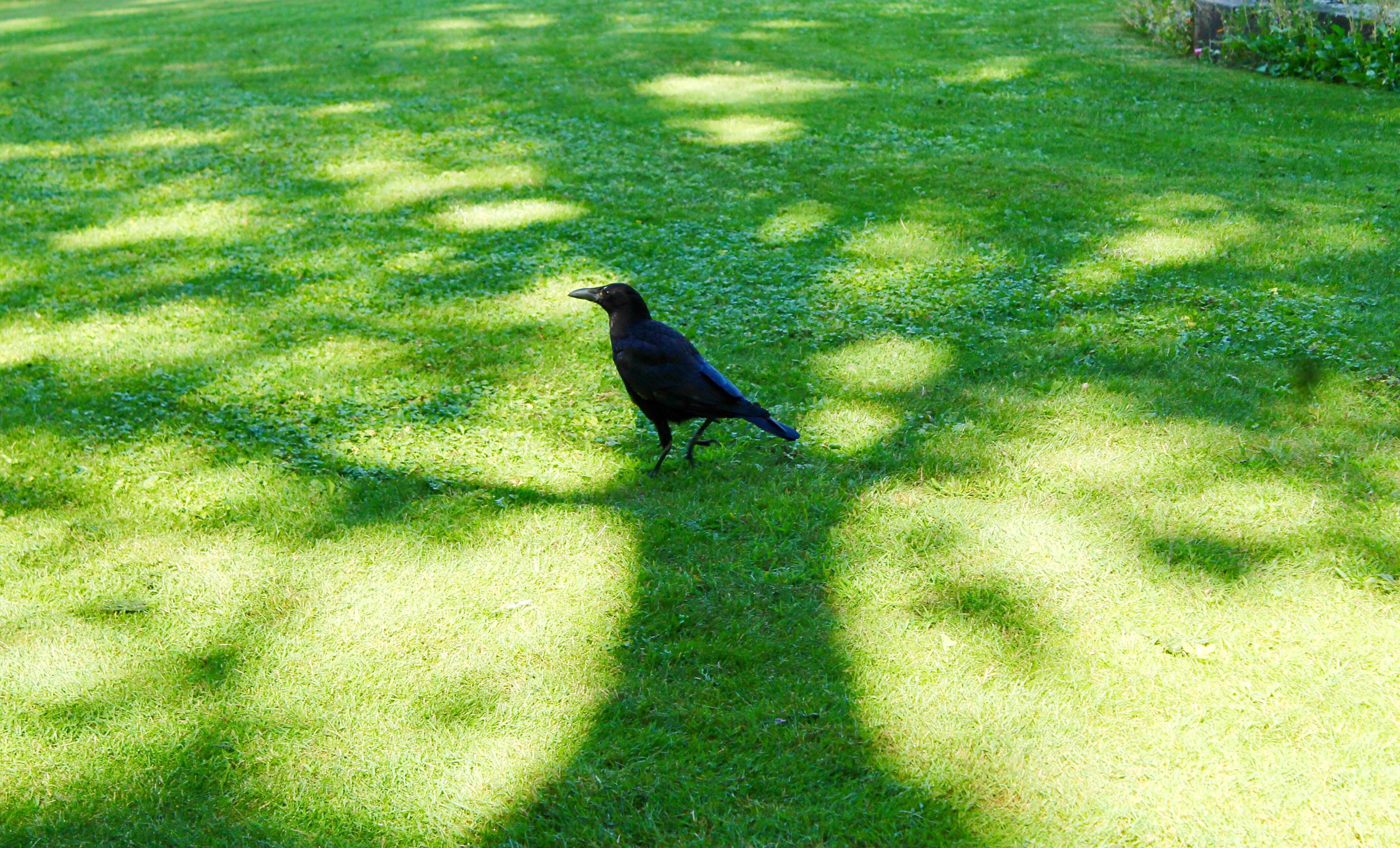 Crow In The Shadow Of A Tree Bird Animals In The Wild Animal Themes One Animal Animal Wildlife Grass Nature Shadow Outdoors Sunlight Perching Day Field Green Color No People Crow