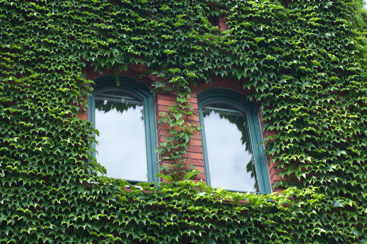 Architecture Creeper Day Foliage Green Green Color Growing Growth Ivy Ivy Leaves Nature No People Outdoors Plant Vegetation Window