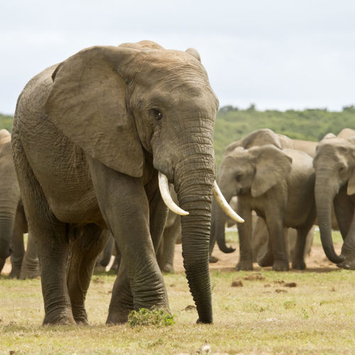 African Elephant Animal Animal Trunk Animal Wildlife Animals In The Wild Day Elephant Mammal Nature No People Outdoors Sky Tusk