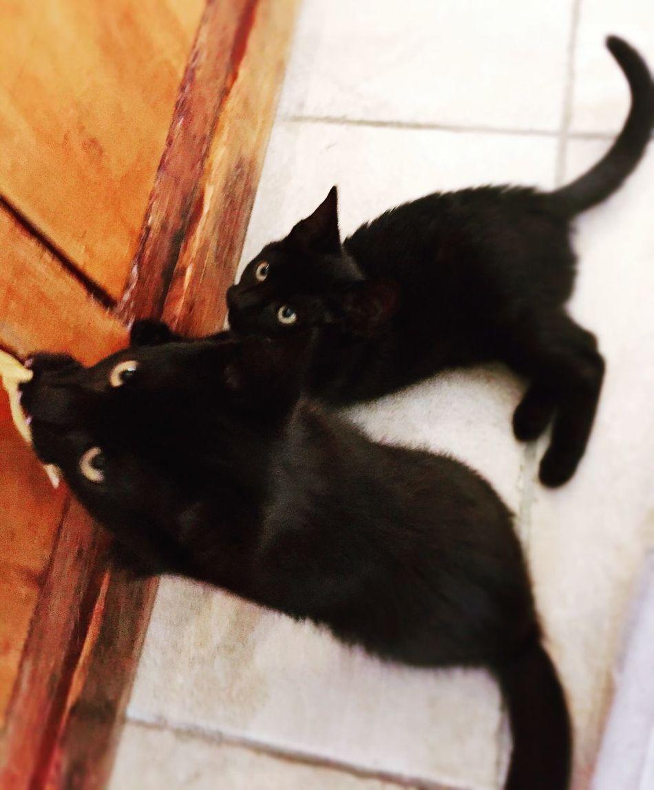 BLackCat Kitten Cats Demoncat Twins
