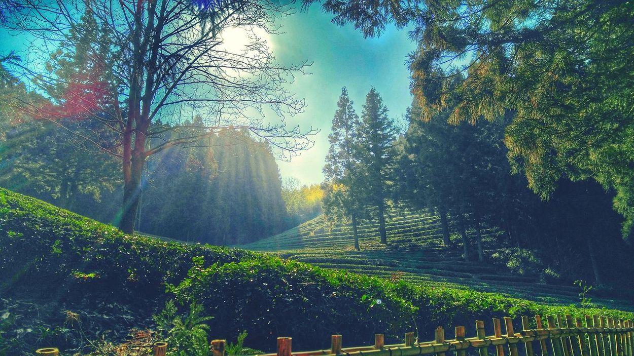 Boseong Dowon Tea Plantation Boseong Green Tea Trees Nature Sunshine Pastel Power