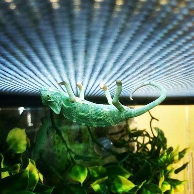 Upside down Chameleon