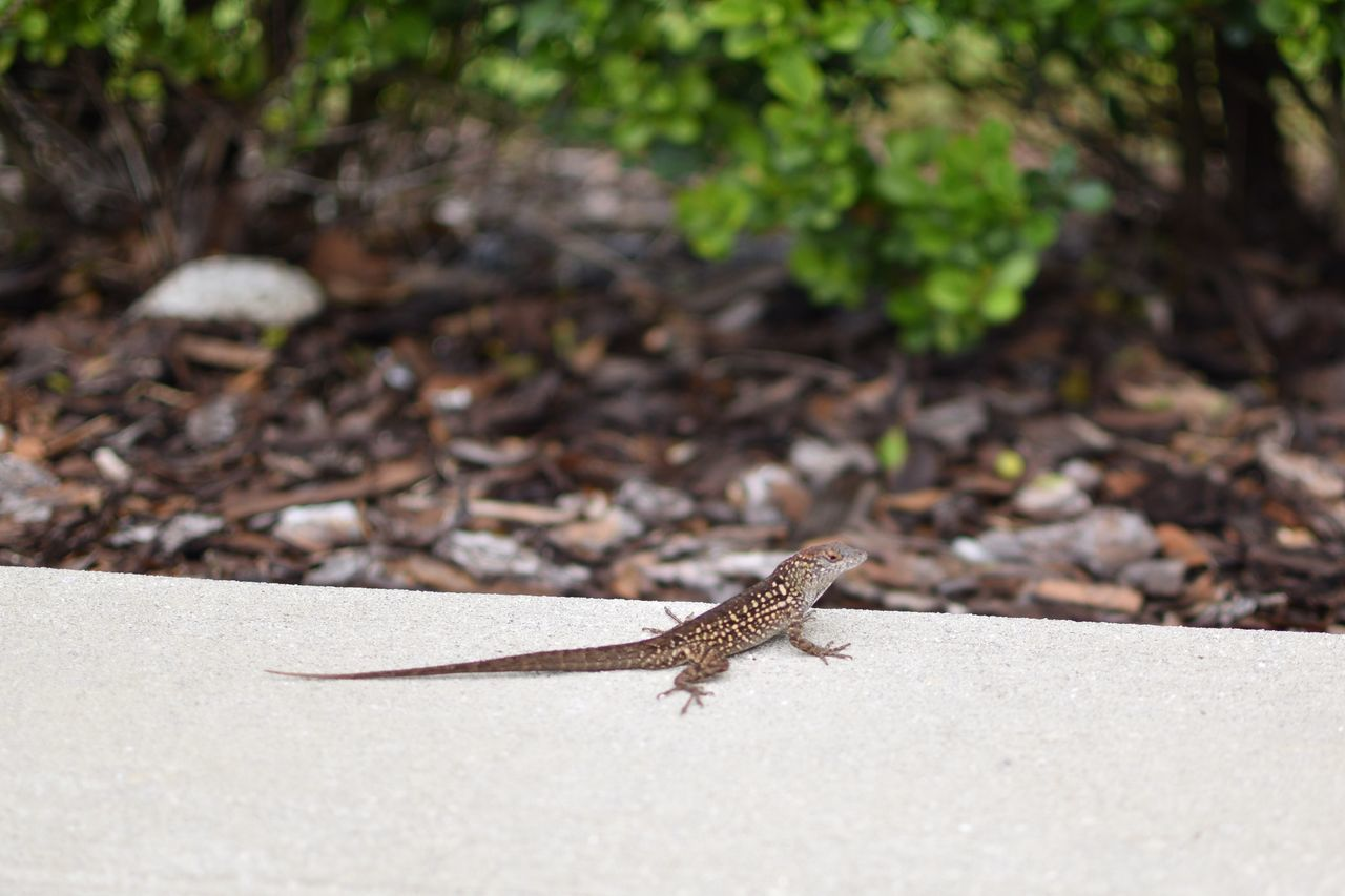 One Animal Animal Themes Animals In The Wild Day Outdoors Reptile Focus On Foreground Animal Wildlife No People Nature Close-up Full Length Lizard Lizard Nature