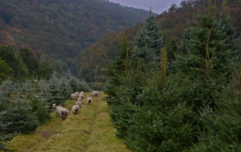 Tree Nature Beauty In Nature Animal Themes Outdoors Grass Schafe Schaf  Sheep Sheeps Sheep🐑 Berge Mountains Winsen Celle Alfeld Braunschweig