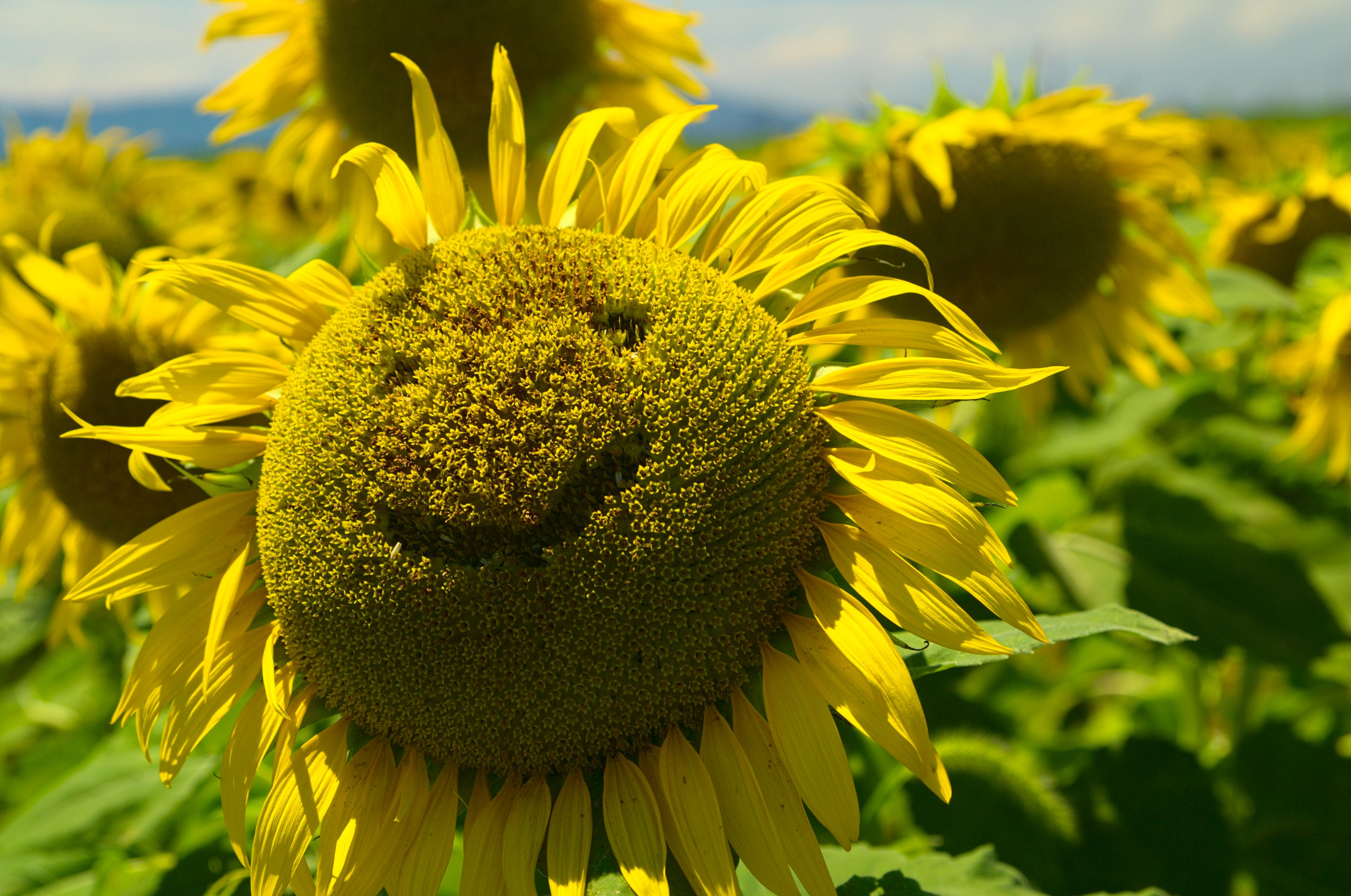 flower, yellow, freshness, growth, sunflower, close-up, focus on foreground, flower head, fragility, beauty in nature, plant, petal, nature, blooming, pollen, field, outdoors, day, in bloom, no people