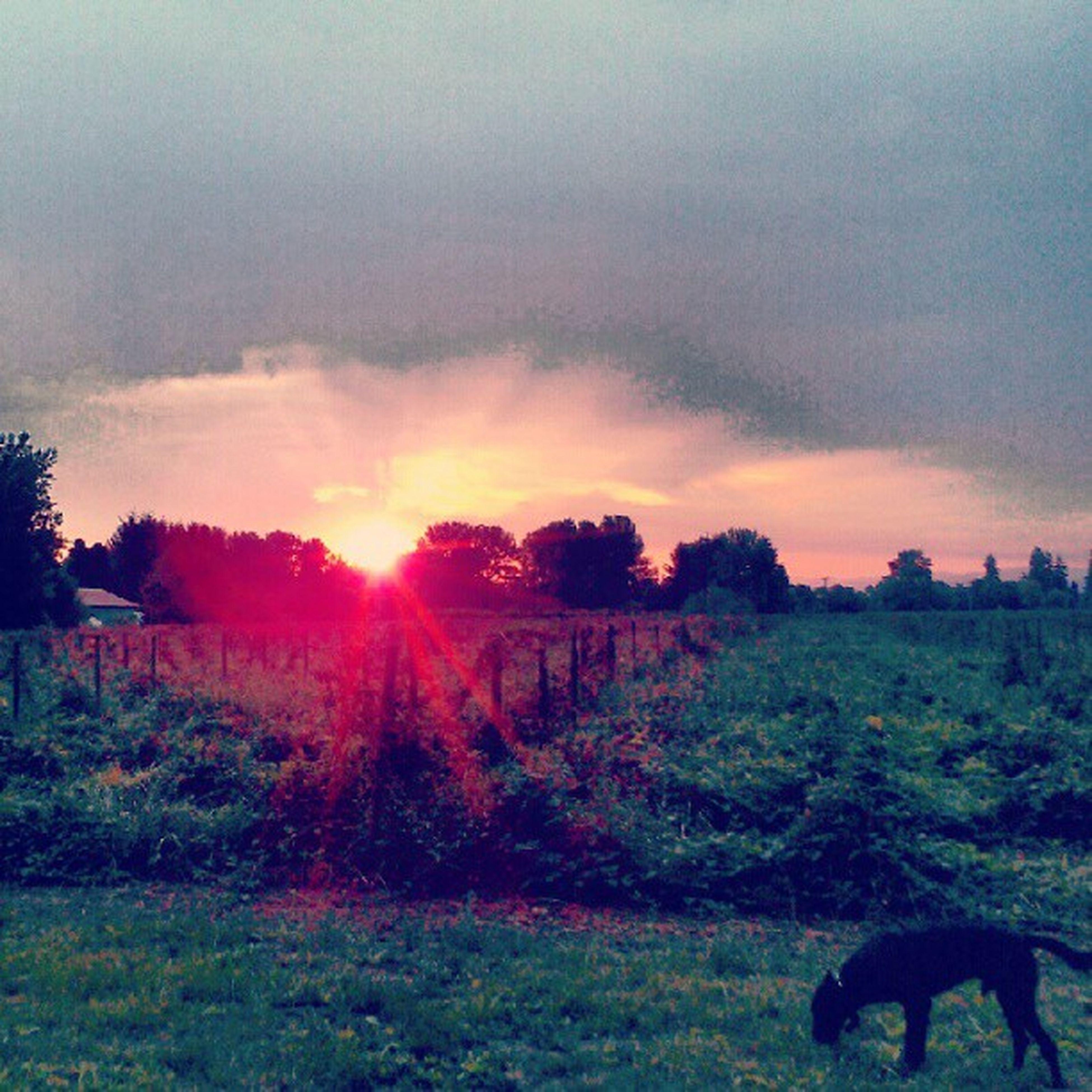 sky, field, sunset, landscape, grass, tranquil scene, animal themes, tranquility, domestic animals, tree, beauty in nature, scenics, nature, cloud - sky, grassy, sun, mammal, one animal, growth, idyllic