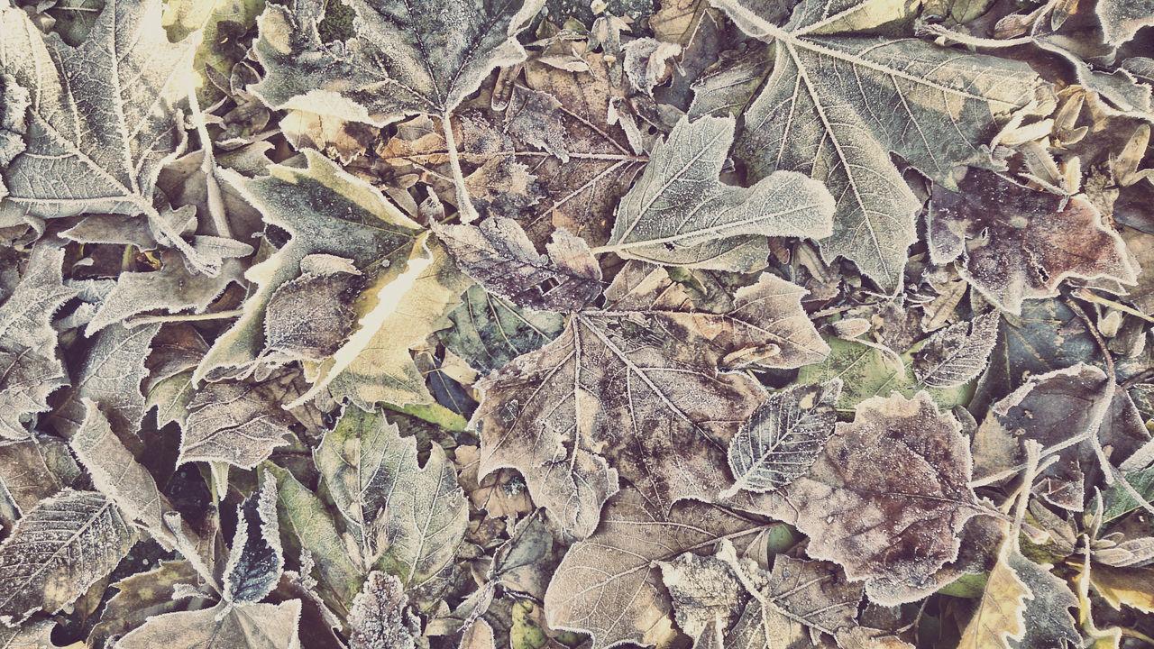 Autumn Autumn Leaves Blätter Mit Raureif Bodenfrost Bunte Blätter Herbstlaub Raureif  White Frost