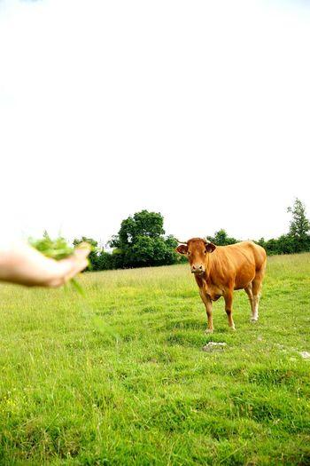 Holiday POV Vache Cow Royan Meaux LaBaule Field Fields Fieldscape Animals