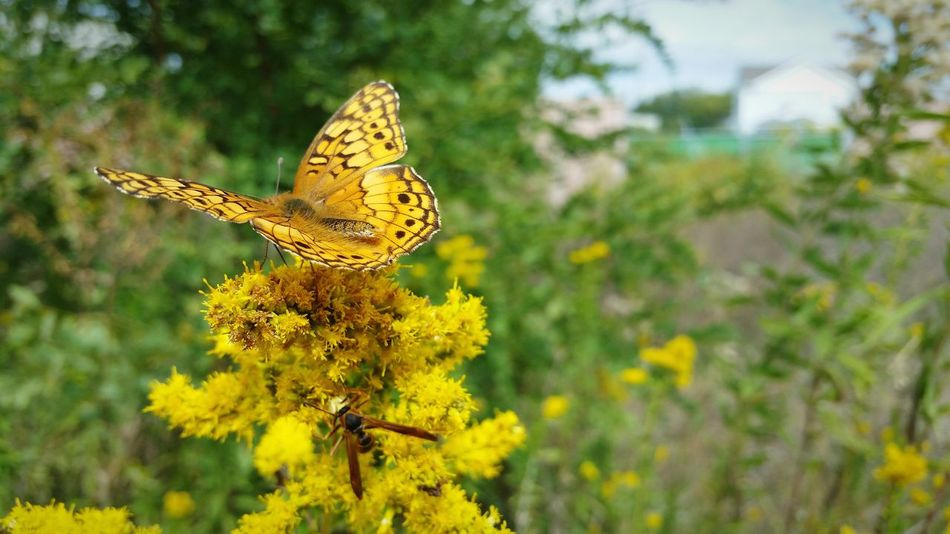 Insect One Animal Animal Themes Yellow Animals In The Wild Wildlife Butterfly Flower Butterfly - Insect Nature Focus On Foreground Growth Close-up Fragility Beauty In Nature Plant Pollination Day Freshness Perching Maryland USA Goldenrod Two Insects The EyeEm Collection