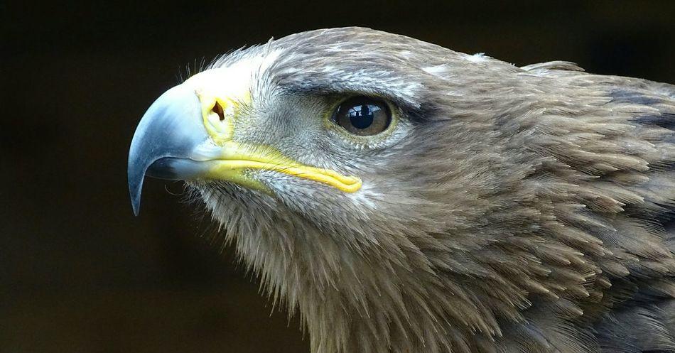 Beautiful stock photos of eagle, Alertness, Animal Themes, Animal Wildlife, Beak