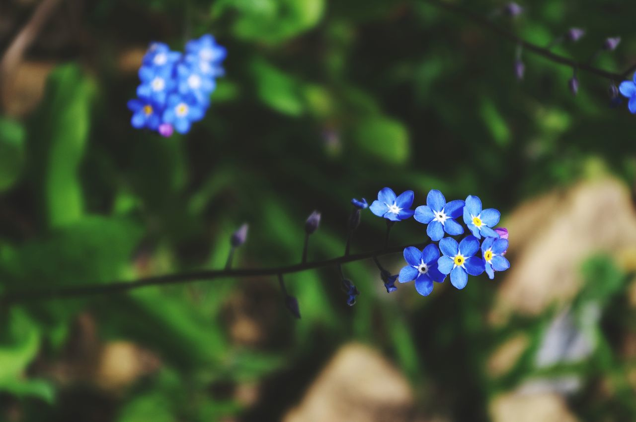 Forget Me Not Flowers Flower Nature Plant Outdoors Beauty In Nature Botanical Garden Growth Springtime No People Flower Head Day Fragility Close-up Freshness Freshness Beauty In Nature Nature Scenics The Great Outdoors - 2017 EyeEm Awards Landscape Wild Flowers Petals Blue