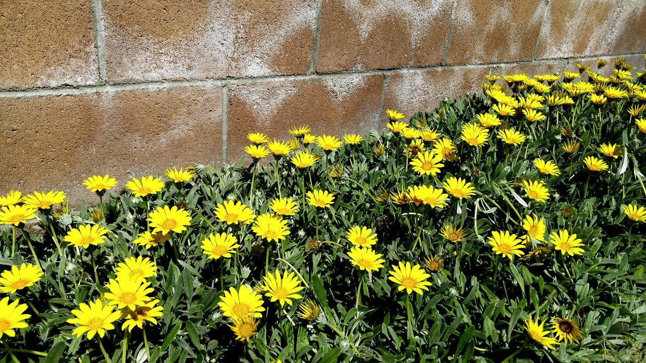 Beauty In Nature Blooming Bricks Flower Flower Head Fragility Freshness Green Growing Growth High Angle View Nature No People Outdoors Outside Petal Wall Yellow Taking Photos Eye4photography  By A Wall Brick Wall Nature Diversities Getty X EyeEm Getty Images
