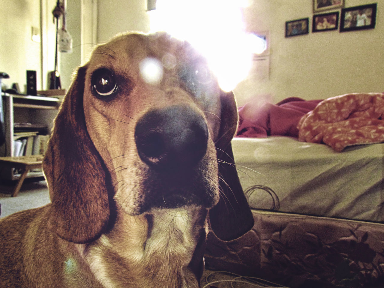 Animal Themes Bassetthound Close-up Dog Domestic Animals Home Interior Indoors  Macro Photography No People One Animal Pets