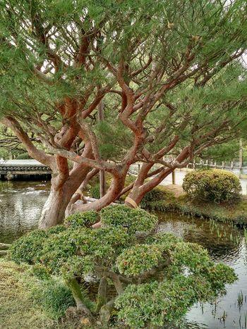 Part of the panoply of trees at Kenroku-en Gardens Kanazawa Kenrokuen Garden The Purist (no Edit, No Filter) The Places I've Been Today The Traveler - 2015 EyeEm Awards Esthetic Kenrokuen Japanese Style Japanese Garden Japanese Culture Japanese  Japan