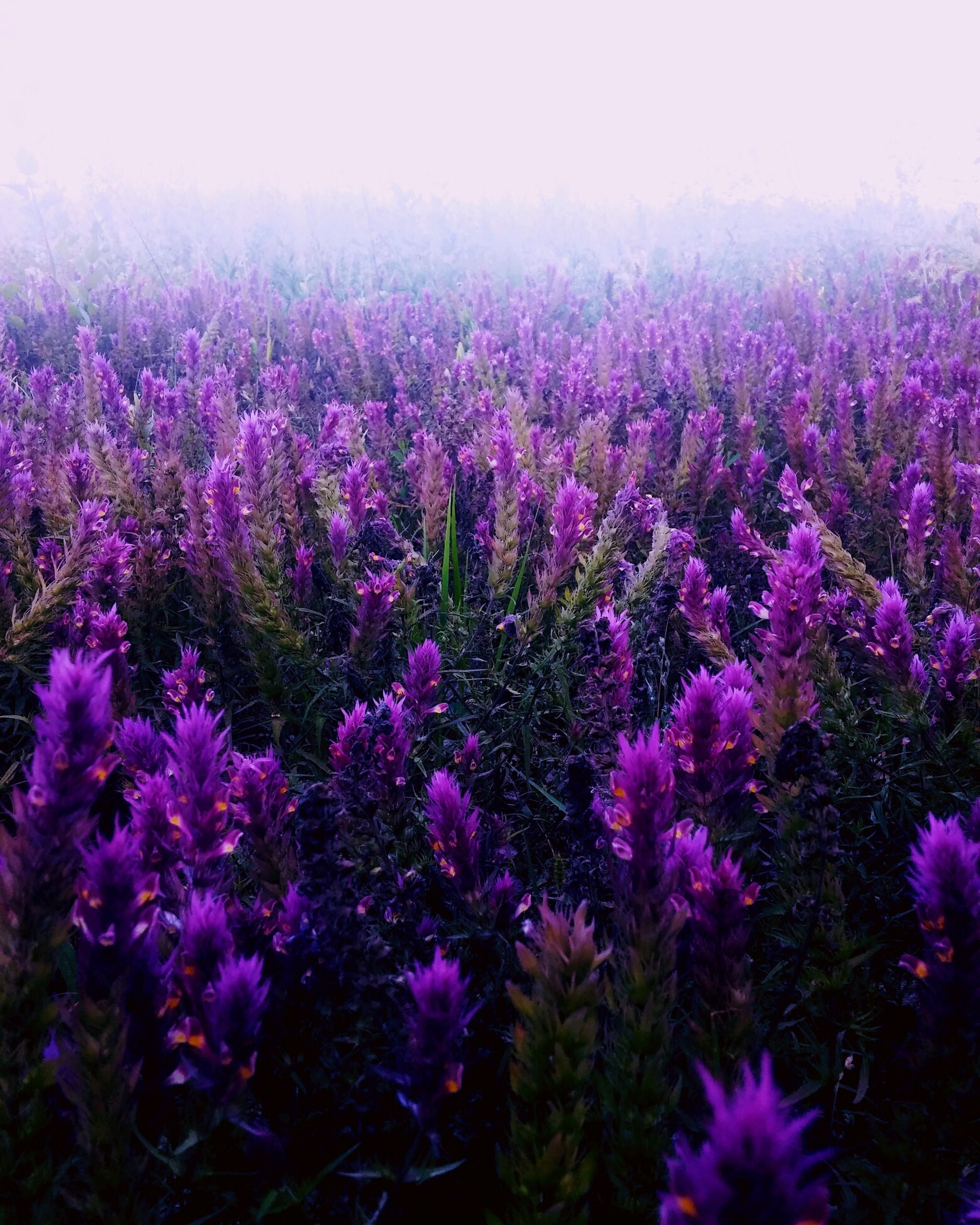 flower, growth, freshness, beauty in nature, fragility, purple, plant, nature, blooming, petal, in bloom, field, pink color, flower head, blossom, tranquility, outdoors, abundance, no people, day