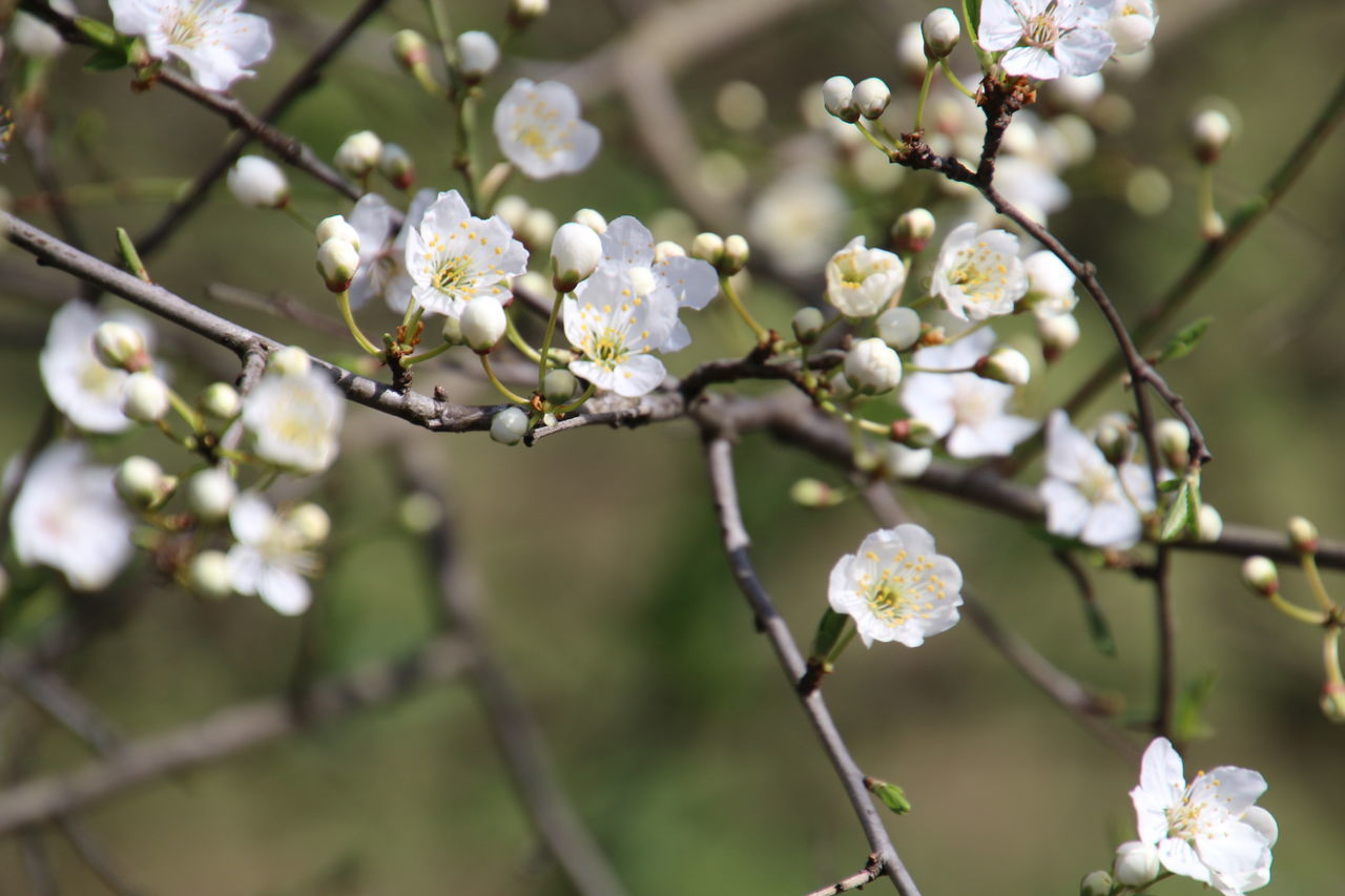 Growth Nature Flower Blossom Tree Beauty In Nature Twig Springtime Flower Head Close-up Branch Almond Tree Outdoors No People Freshness Fragility Day
