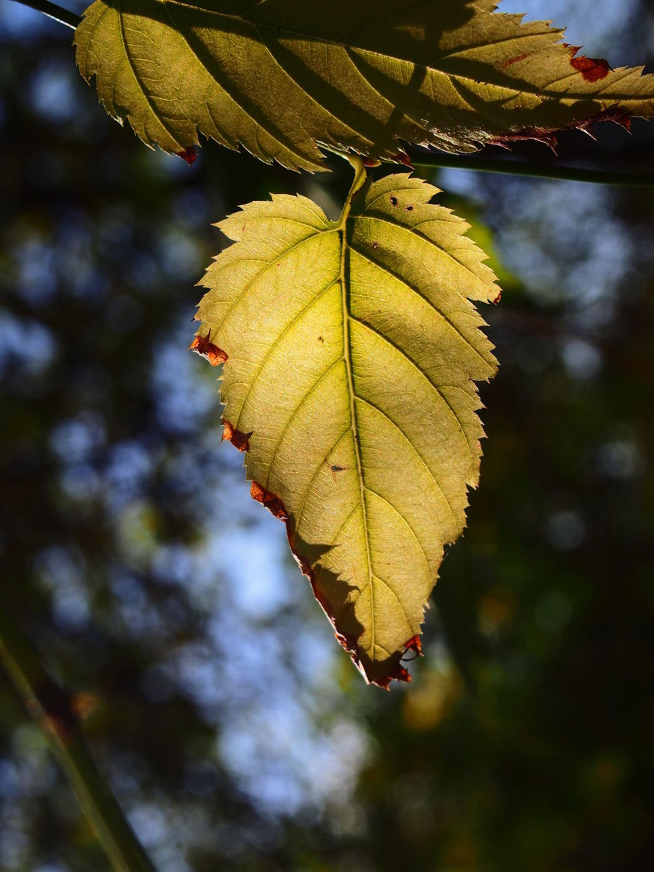 Autumn Beauty In Nature Branch Close-up Day Freshness Green Color Growth Leaf Nature No People Outdoors Tree Yellow