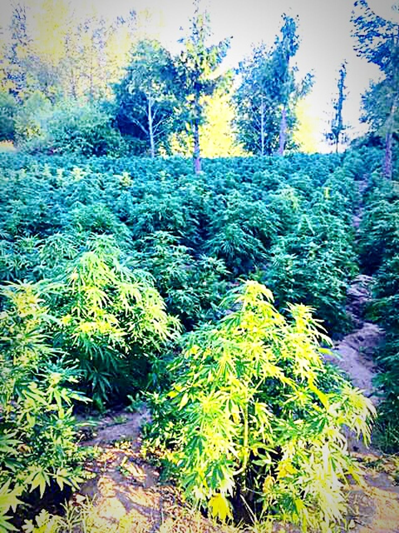 Growing Things Weed Life Potography Puff Puff Pass..  Smoke Dayumm Garden Of My Dreams Smoke's Love ♥ Farm Life My Garden My Wish All I See Is Smoke . Roll Up . Roll Up
