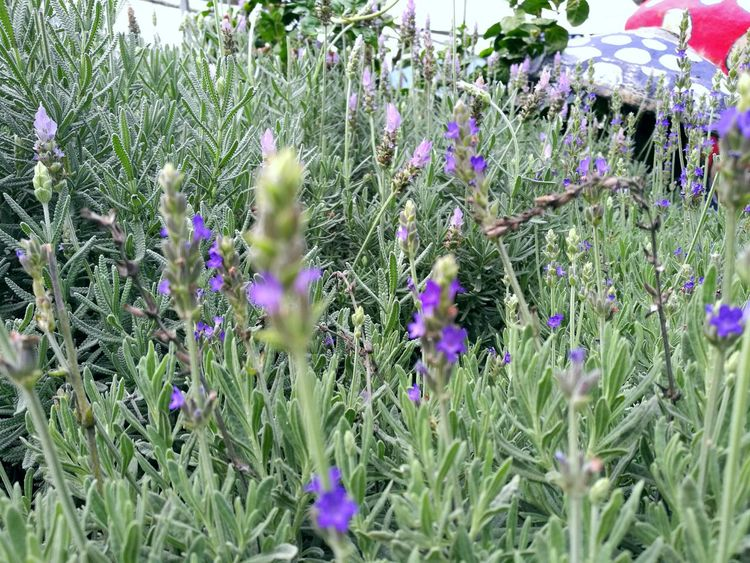 Flower Growth Nature Plant Beauty In Nature Purple Freshness Fragility Green Color Field Grass Blooming Flower Head No People Outdoors Day Wildflower Lavender Cameronhighlands Malaysia