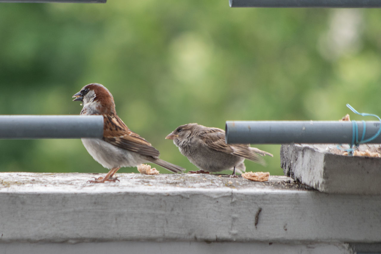 Balkonbesuch! Bird Animal Animal Themes Animals In The Wild Female Animal Animal Wildlife Perching Day Outdoors Eating Food No People Nature Sparrow Close-up