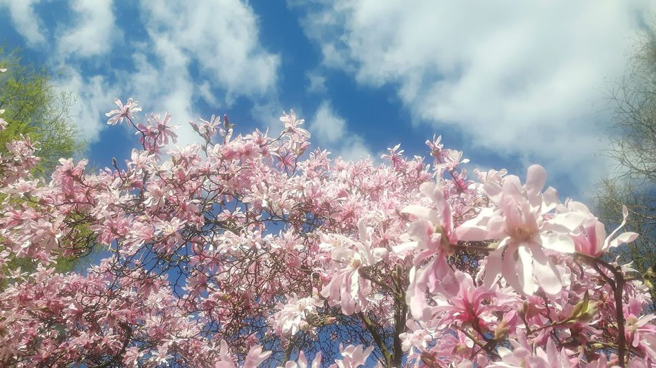 Beauty In Nature Low Angle View Nature Growth No People Tree Plant Outdoors Flower Day Sky Freshness Fragility Tranquility Flower Garland Magnolia Blossom Magnolia Loebneri Magnolienknospe Celebration Flower Head Blossom Magnolia Tree Branch Freshness Magnolias Blooming