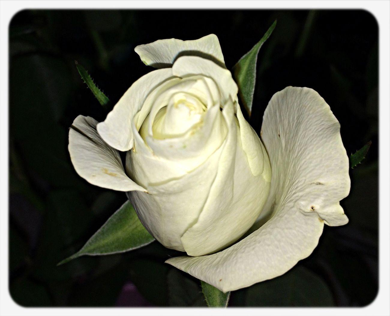 Roses Weekend Flowers