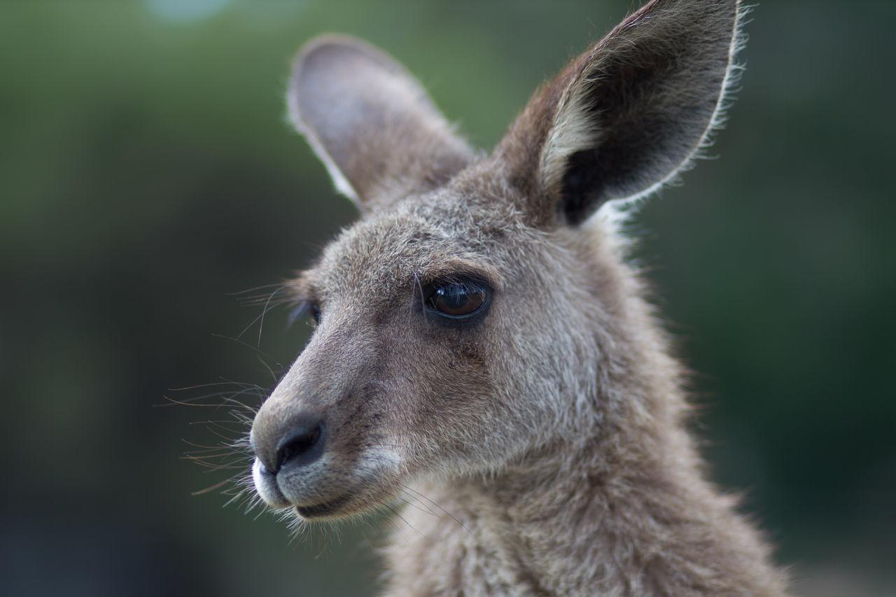 Beautiful stock photos of kangaroo, Animal Head, Animal Themes, Close-Up, Day