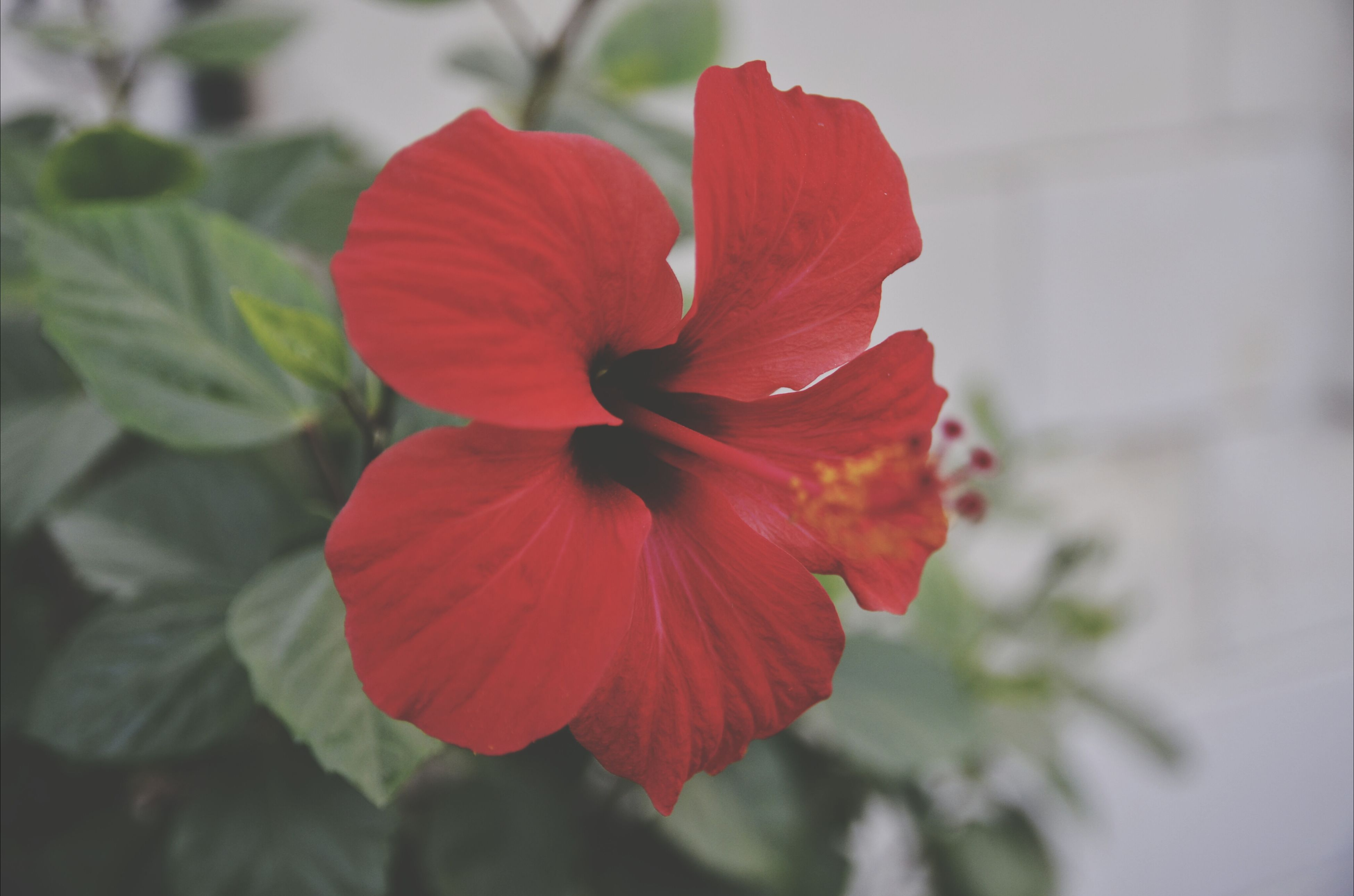 flower, petal, flower head, freshness, fragility, red, growth, single flower, beauty in nature, close-up, blooming, focus on foreground, plant, nature, hibiscus, pollen, in bloom, stamen, day, no people
