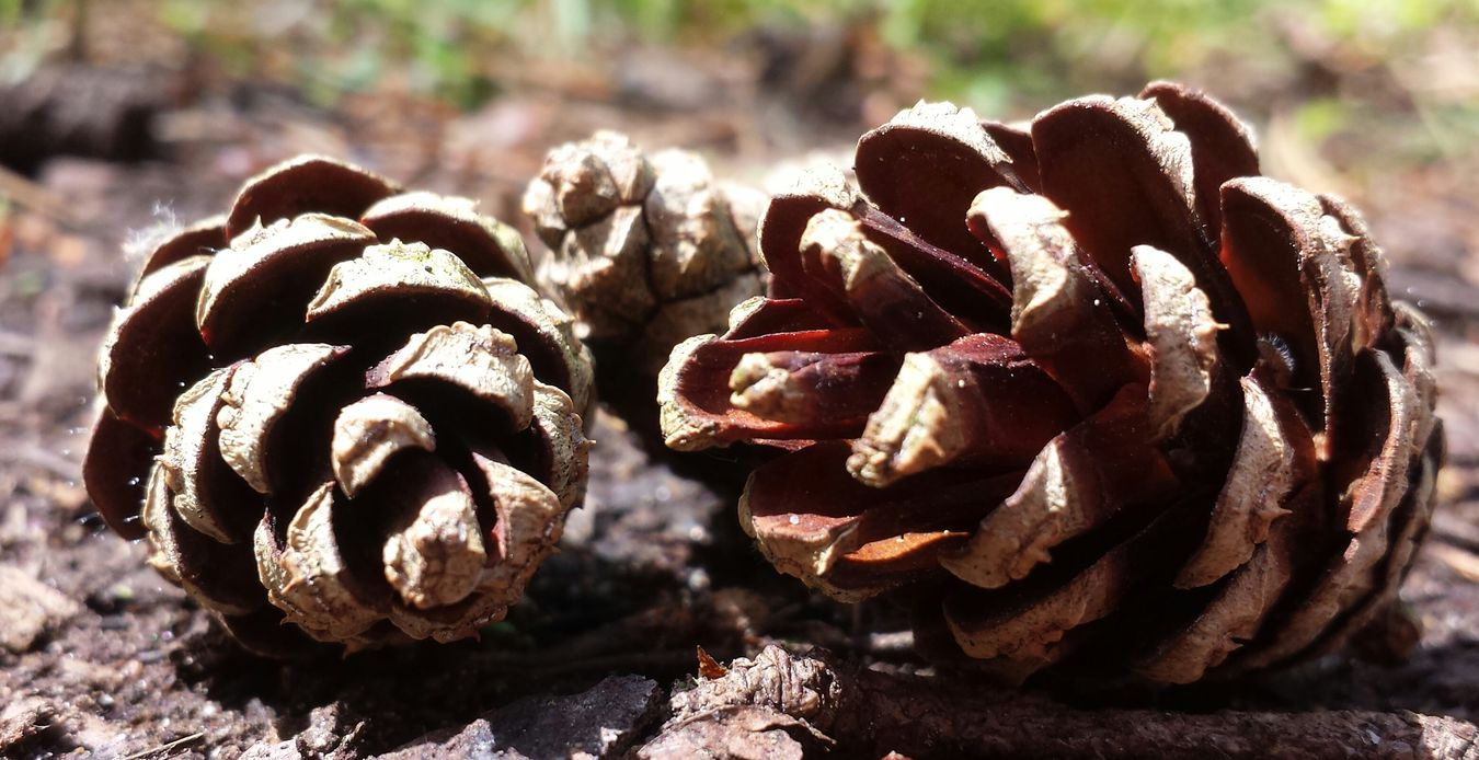 I love pine cones as much as daisies! Lol TheVilleAtEyeem Eyeemnaturelover Macroclique EyeEm Best Shots