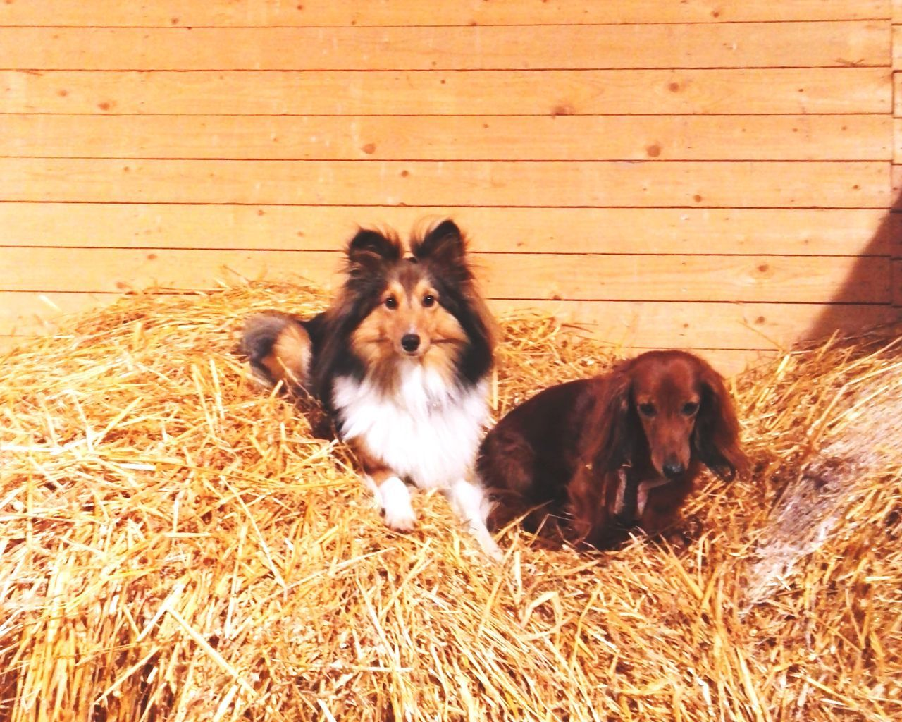 Animal Themes Domestic Animals No People Pets Outdoors Nature Sheltie Shetland Sheepdog Daschund Barnlife Stable Mammal Day First Eyeem Photo