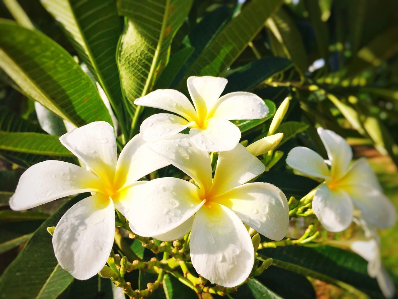 Flower Growth Beauty In Nature Petal Nature Leaf Plant Freshness Flower Head White Color Fragility Frangipani Blooming Close-up Day No People Outdoors Periwinkle Nature EyeEm Nature Lover EyeEm Gallery white flowerPlumeria Plumeria Flowers Plumeria White Freshness Neon Life EyeEm Selects EyeEmNewHere