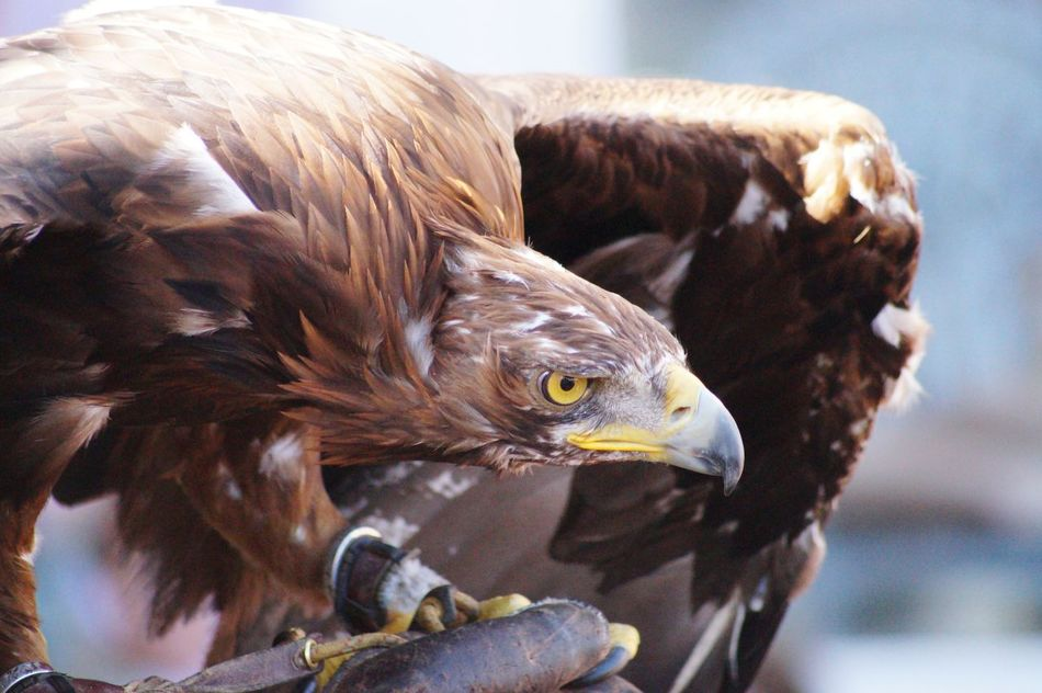 Beautiful stock photos of eagle, Alertness, Animal Themes, Animals In The Wild, Bird