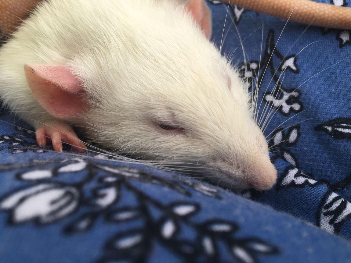 Ratty Rats Domestic Animals Pets Sleepy Pets Tired Nap Time
