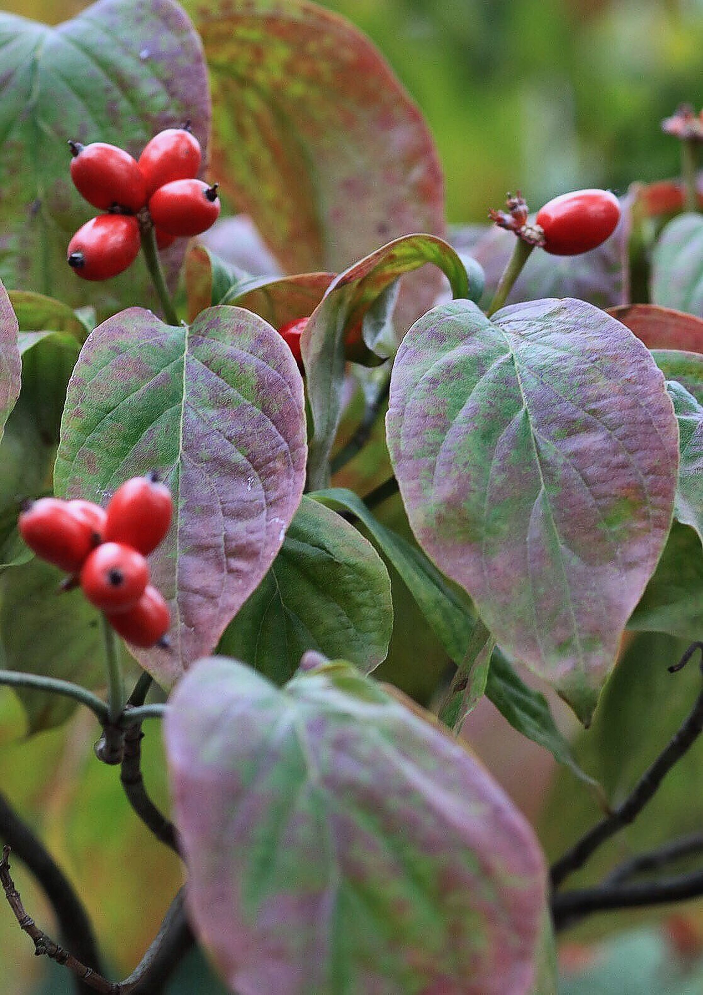 leaf, close-up, growth, plant, freshness, green color, focus on foreground, nature, beauty in nature, day, red, fragility, outdoors, botany, berry, plant life, green, growing, tranquility, no people