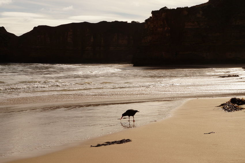 Contrast Shapes Australia Water Reflections Animal Themes Animal Wildlife Animals In The Wild Beach Beauty In Nature Bird Birds Day Nature No People One Animal Outdoors Sand Scenics Sea Sky Sunset Tranquility Water Wave