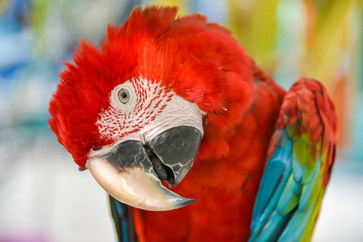 Amazon Animal Beuty Bird Bird Photography Feather  HEAD Macaw Macaw Bird Macaw Bird. Macaw Parrot Macaw Red Paradise Parrot Red Shot Sleep