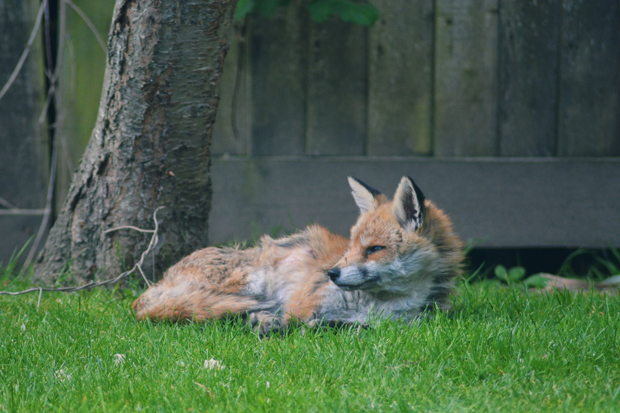 Animal Themes Animals In The Wild Day Fox Garden Grass Mammal Nature No People One Animal Outdoors Pets Wild Animal
