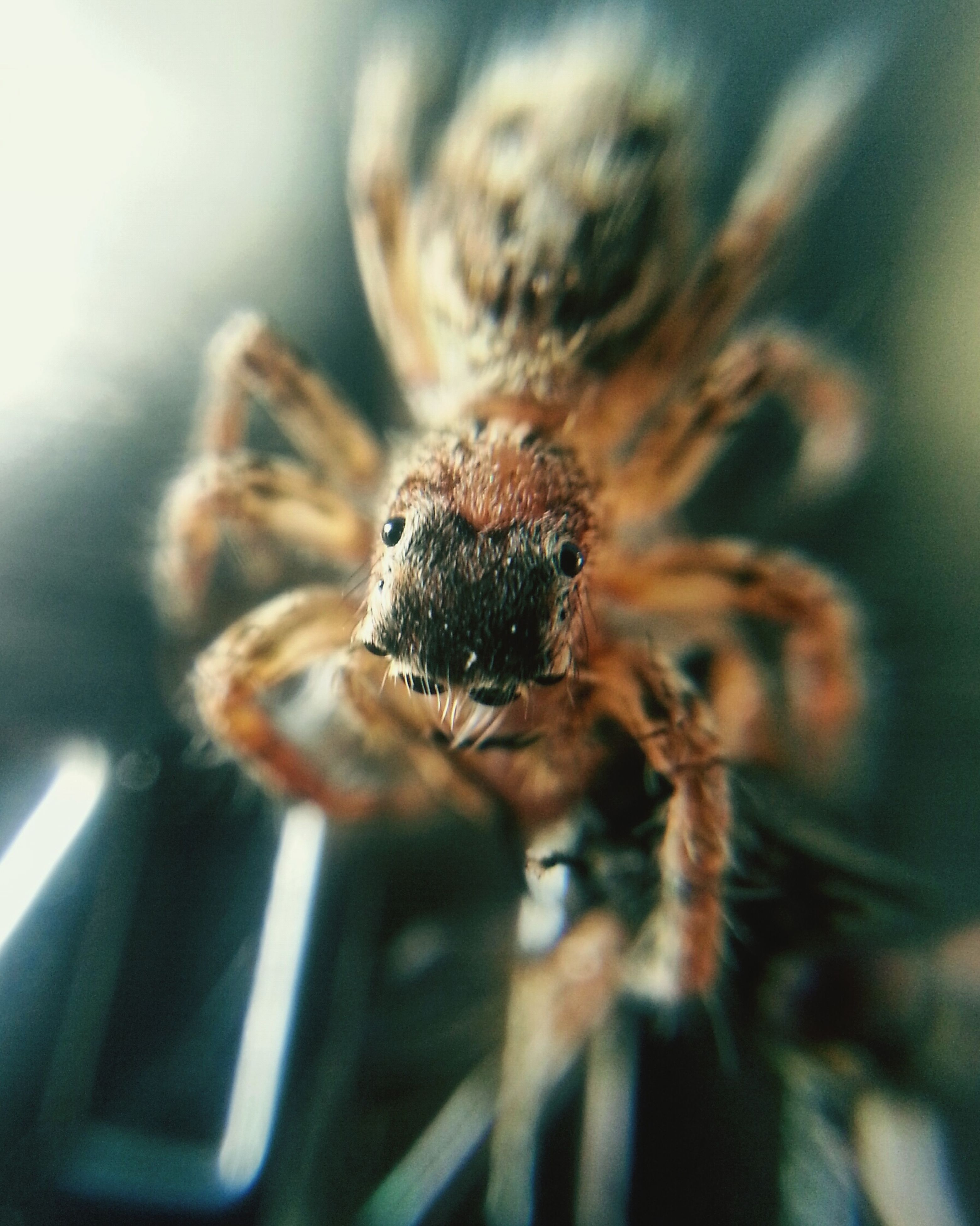 spider, jumping spider, one animal, animal themes, animals in the wild, selective focus, close-up, animal wildlife, no people, nature, day, outdoors