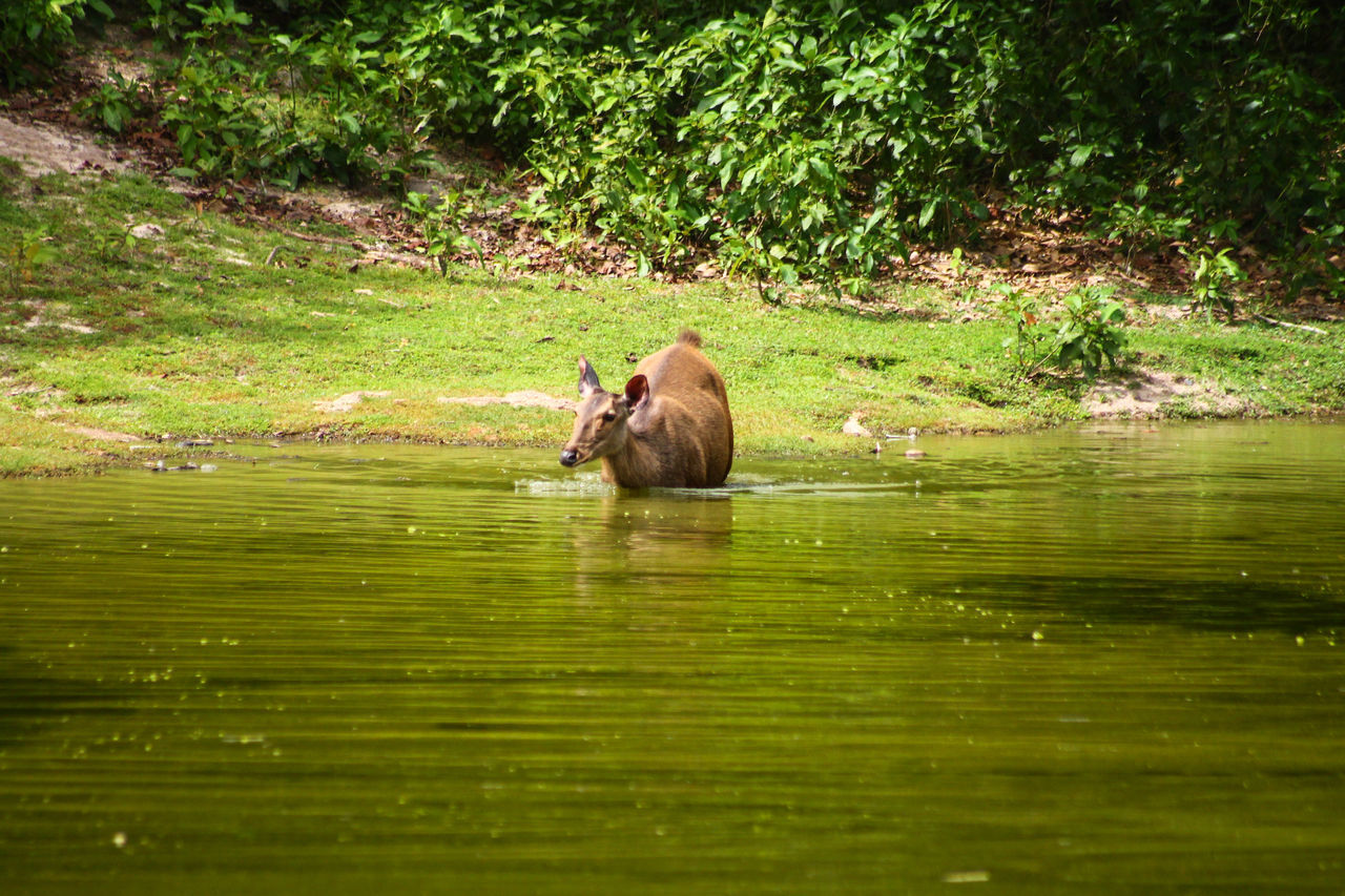 Doe Doe In The Lake Animals In The Wild Water One Animal Animal Themes Animal Wildlife Nature Lake Mammal No People Waterfront Green Color Outdoors Day Swimming Grass Tree Greenery Tranquility Safari Wildlife Reserve The Great Outdoors - 2017 EyeEm Awards
