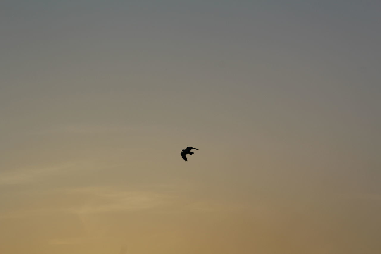 animals in the wild, sunset, one animal, nature, animal wildlife, animal themes, copy space, bird, flying, mid-air, beauty in nature, outdoors, silhouette, low angle view, clear sky, no people, sky, spread wings, day, bird of prey