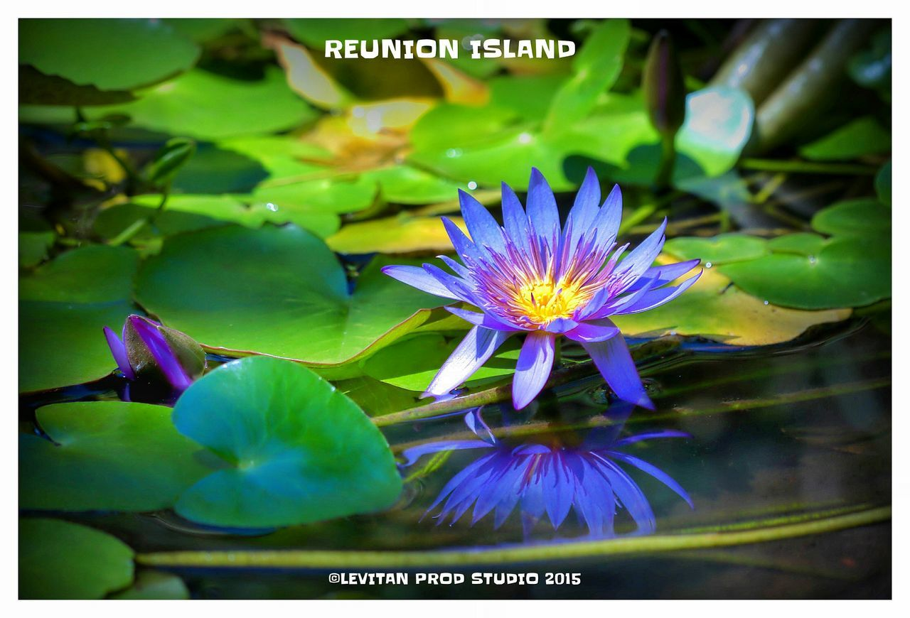 flower, fragility, petal, beauty in nature, nature, freshness, growth, flower head, purple, outdoors, day, no people, plant, close-up, water lily, green color, blooming, leaf, lotus water lily