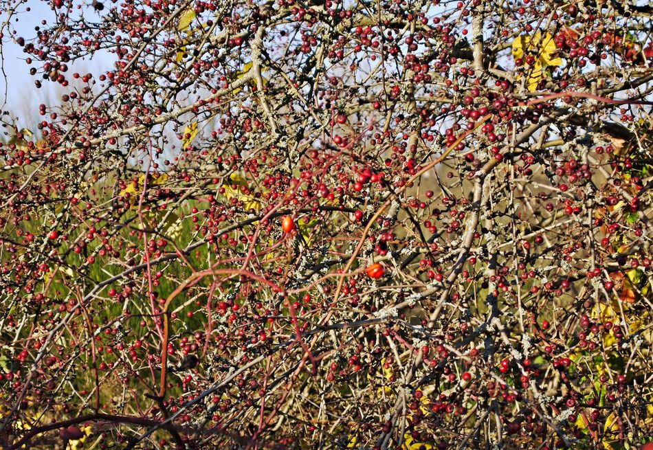 Autumn Fruits Beauty In Nature Branch Close-up Day Full Frame Growth Low Angle View Nature No People Outdoors Sky Tree