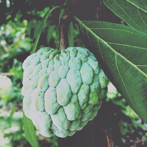 Got a lil happiness Sugarapple Sweetsop